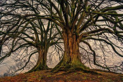 größter Baum der Welt